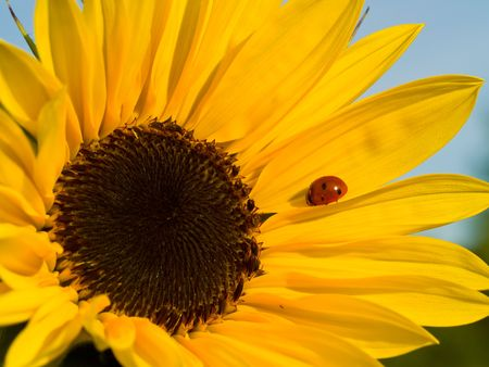 Bright Red Ladybug on a Warm Yellow Sunflower