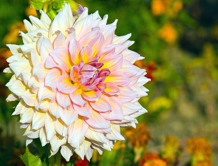 Pink Dahlia Blossom in a Colorful Garden photo
