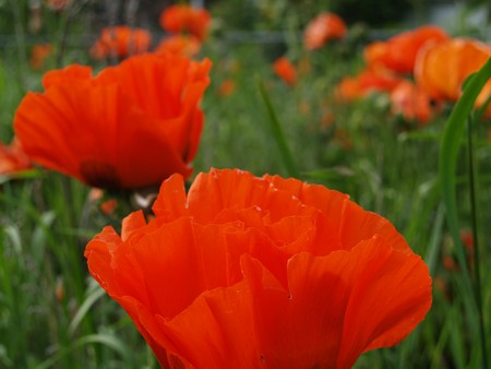 Orange Poppies Growing Wild in a Field Imagens