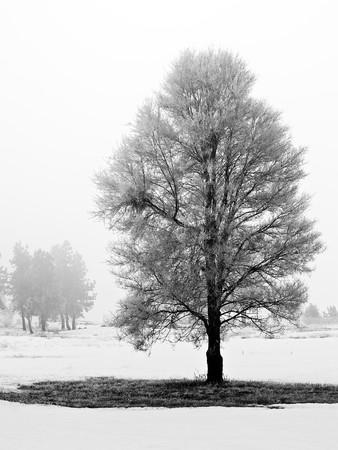 Winter bomen gedekte in vorst op een foggy ochtend  Stockfoto