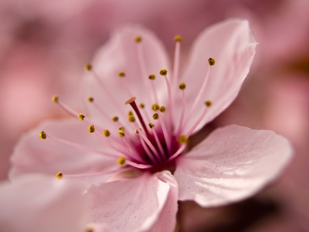 Macro of a Pink Blossom from a Tree Stock Photo - 7574865