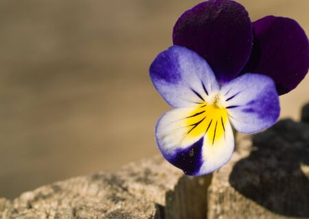 Violas or Pansies Closeup outside on a natural background