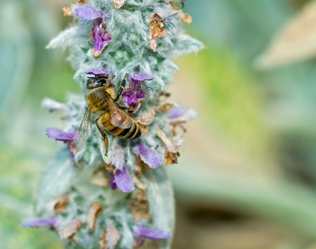 Honeybee in a Flowering Lambs Ear Plant photo