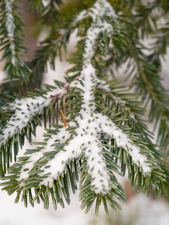 Snow Covered Pine Tree Branches Close Up photo