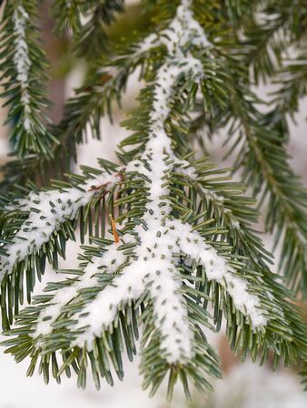 Snow Covered Pine Tree Branches Close Up Stock Photo - 7575036