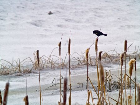frozen lake: Red Winged Blackbird in a Frozen Marsh Area on an Overcast Day Stock Photo