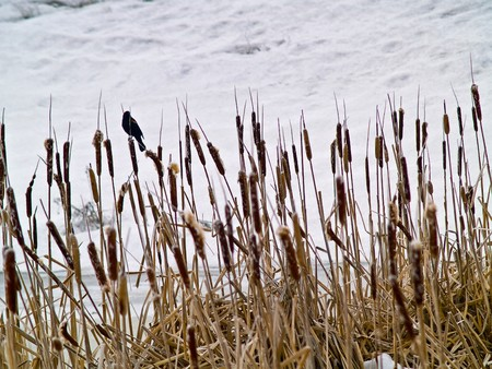 Red Winged Blackbird in a Frozen Marsh Area on an Overcast Day Stock Photo - 8275013