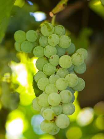 Sweet Green Grapes Hanging on the Vine photo