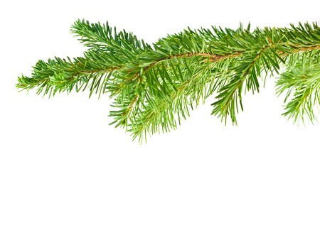 Evergreen Tree Branch Frame Isolated on White Background
