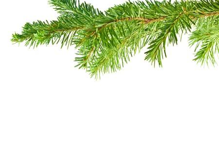 evergreen branch: Marco de subdivisi�n de �rbol perenne aislada sobre fondo blanco