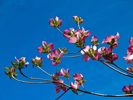 Pink blooms adorn a Dogwood tree in spring photo