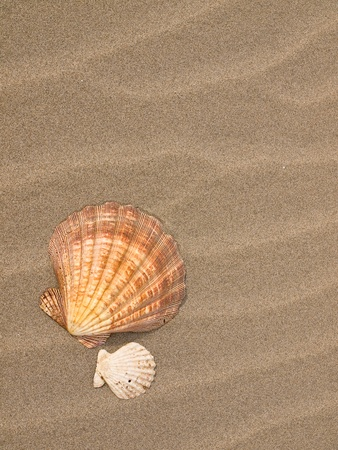 Scallop Shells on a Wind Swept Sandy Beach photo