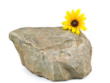 白で隔離灰色の石の上で黄色のヒナギク 写真素材