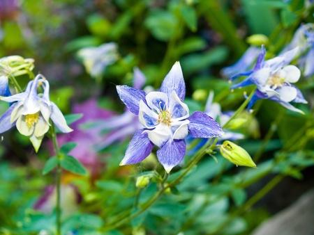 Columbine bloeien in een zonnige lente tuin