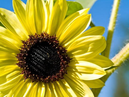 A Sunflower Still on the Plant with Bees photo