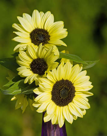 close ups: Close Ups of a Bunch of Sunflowers in a Vase Stock Photo