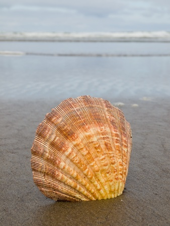 Scallop Shell Sticking Up in the Sand at the Waters Edge of a Beach photo