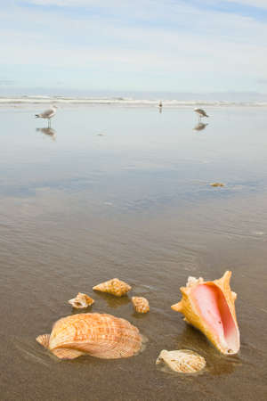 Scallop and Conch Shells on a Wet Sandy Beach with Sea Gulls in Background photo