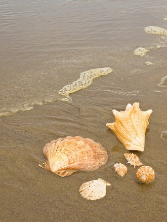Scallop and Conch Shells on a Wet Sandy Beach as an Ocean Ripple Approaches