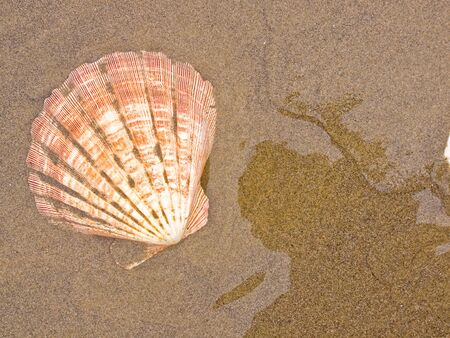 Scallop Shells on a Wet Sandy Beach photo
