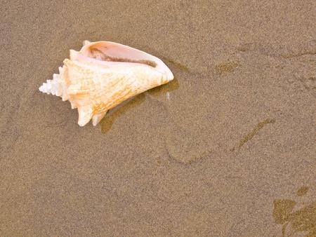 Conch Shell on a Wet Sandy Beach photo
