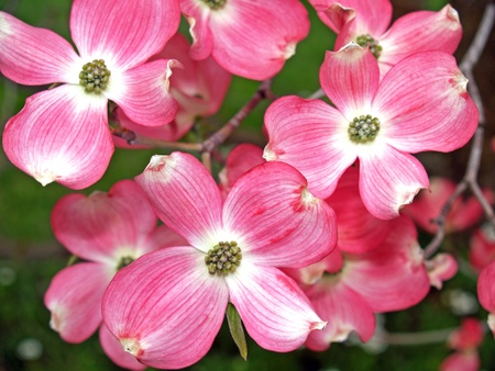 Pink Dogwood Tree Blooms at the Height of Springtime     photo
