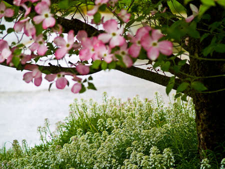 dogwood tree: Pink Dogwood Tree Blooms at the Height of Springtime
