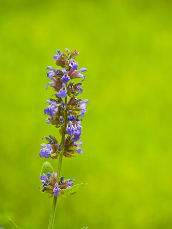 Wild Flowers Growing in a Sunny Garden - Sage photo