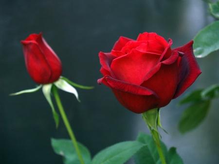 Longstemmed Red Rose op de tak in een Tuin