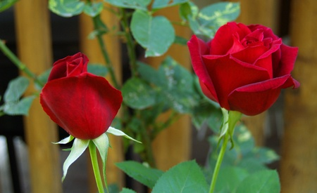 Longstemmed Red Rose on the Branch in a Garden photo