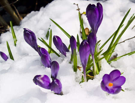 Purple Crocuses Poking Through the Snow in Springtime Stock Photo - 8913124