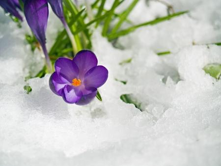 Purple Crocuses Poking Through the Snow in Springtime Reklamní fotografie