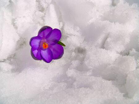 Purple Crocuses Poking Through the Snow in Springtime Stock Photo - 8914752