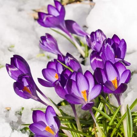 bosque con nieve: Crocos p�rpuras metiese a trav�s de la nieve en primavera Foto de archivo