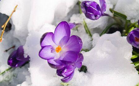 Purple Crocuses Poking Through the Snow in Springtime Stock Photo