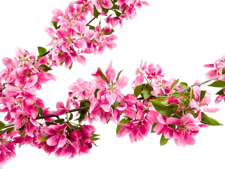 Bright Pink Clusters of Tree Blossoms Isolated on White