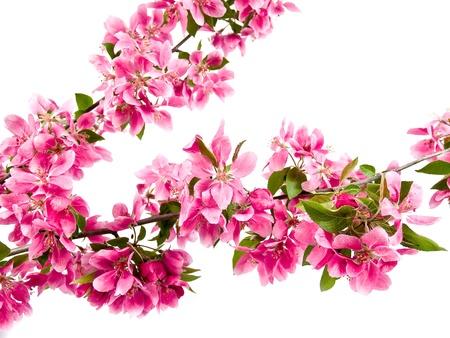 Helder roze Clusters van boom Blossoms geïsoleerd op wit