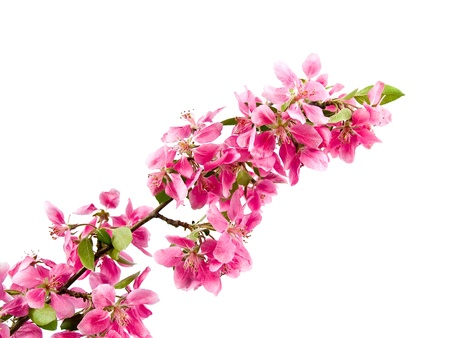 Bright Pink Clusters of Tree Blossoms Isolated on White Stock Photo - 8914936