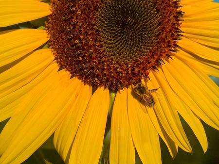 Honeybee Covered in Pollen in a Sunflower photo