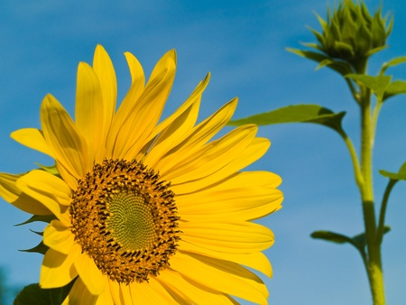 Yellow Sunflower closeup against a blue cloudless sky.  photo
