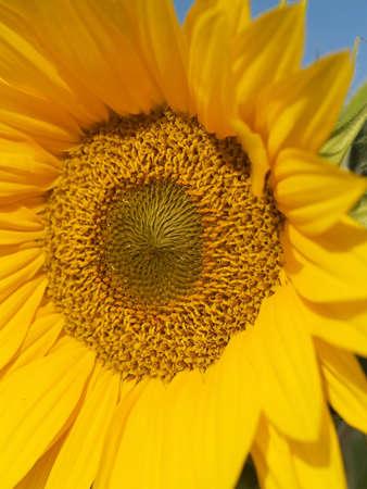 Yellow Sunflower closeup against a blue cloudless sky. photo