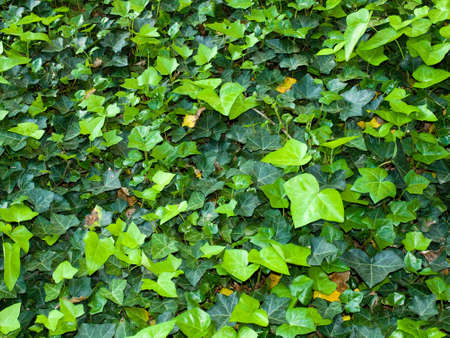 ivy wall: Bright and Lush Green Ivy Ground Cover Background