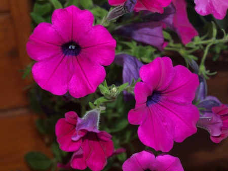 petunias: Pretty Purple and Violet Petunias on a Balcony Garden Stock Photo