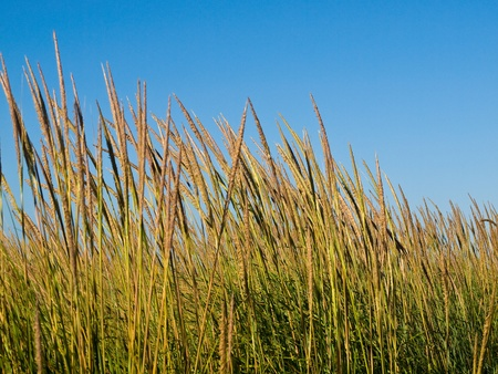 sawgrass: Green and Yellow Beach Grass with a Blue Clear Sky Stock Photo