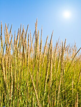 Green and Yellow Beach Grass on a Clear and Sunny Day Stock Photo - 11378447