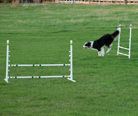 Dog Jumping at an Agility Training photo