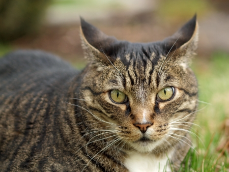 An Adult Tabby Cat Outdoors in a Grassy Yard  photo