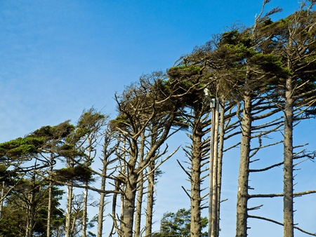 windswept: Windswept Trees on a Clear Sunny Day
