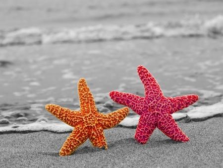 estrella de mar: Una estrella de mar rojo y naranja contra un Shoreline Blanco y Negro