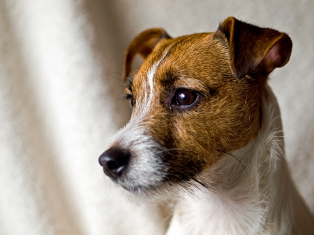 Portrait of a Cute Jack Russell Terrier Stock Photo - 16571366